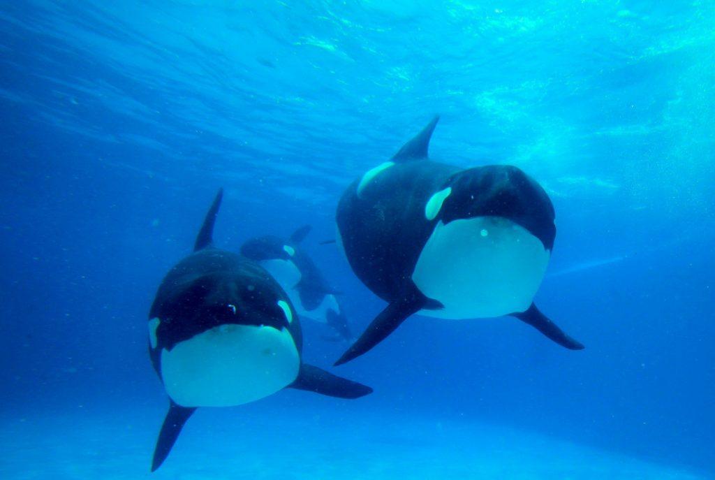Killer whales at Kamogawa Sea World