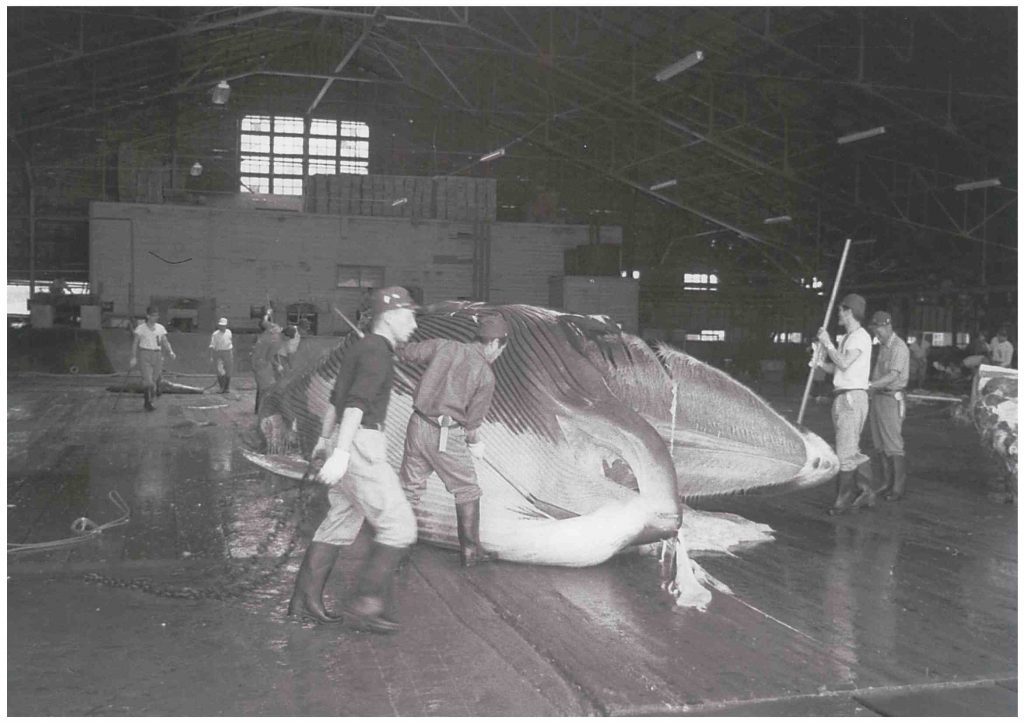 Whaling during the peak years at Ayukawa, Akita Prefecture